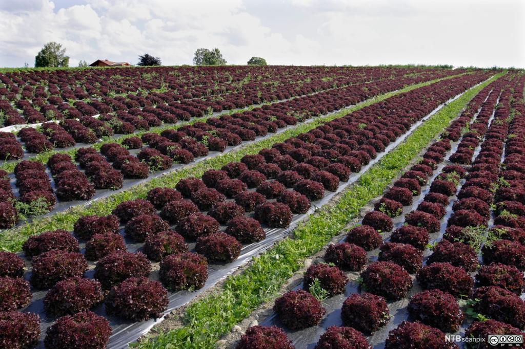 Jorde med rader med rød lollo salat. Foto.