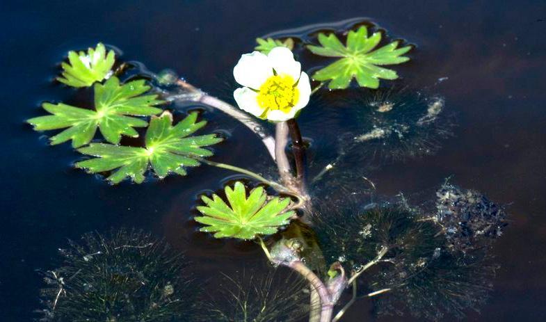 Plante som vokser i vann. Foto