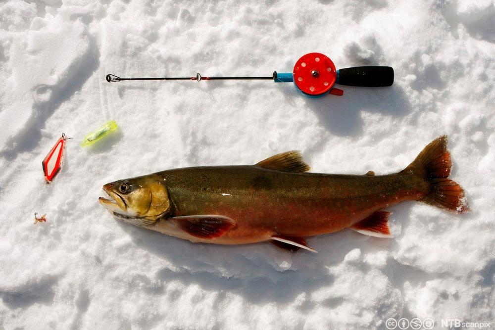 Røye fanget på røyeblink og maggot ligger på isen. Foto.