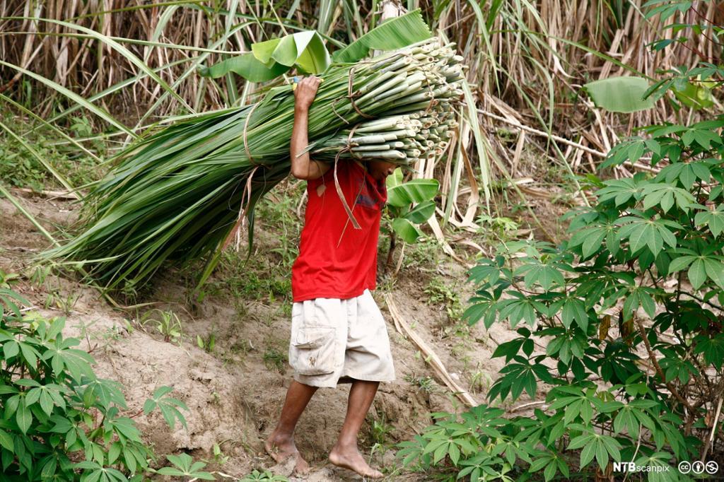Liten gutt som arbeider på en sukkerplantasje. Foto.