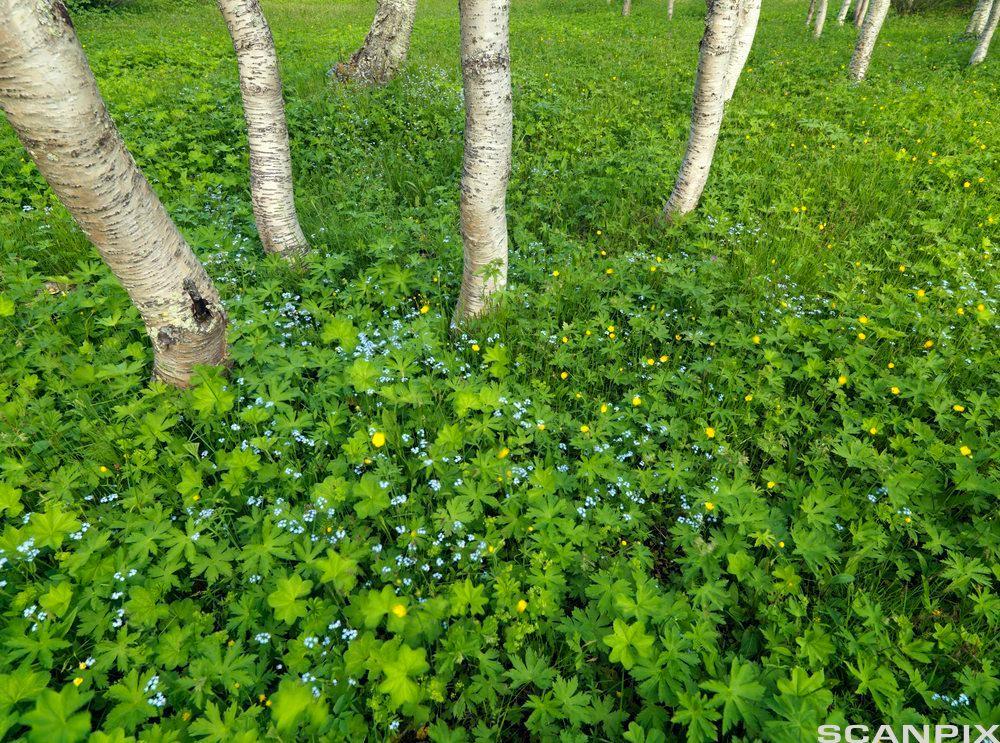 Fjellbjørkeskog med frodige urter.