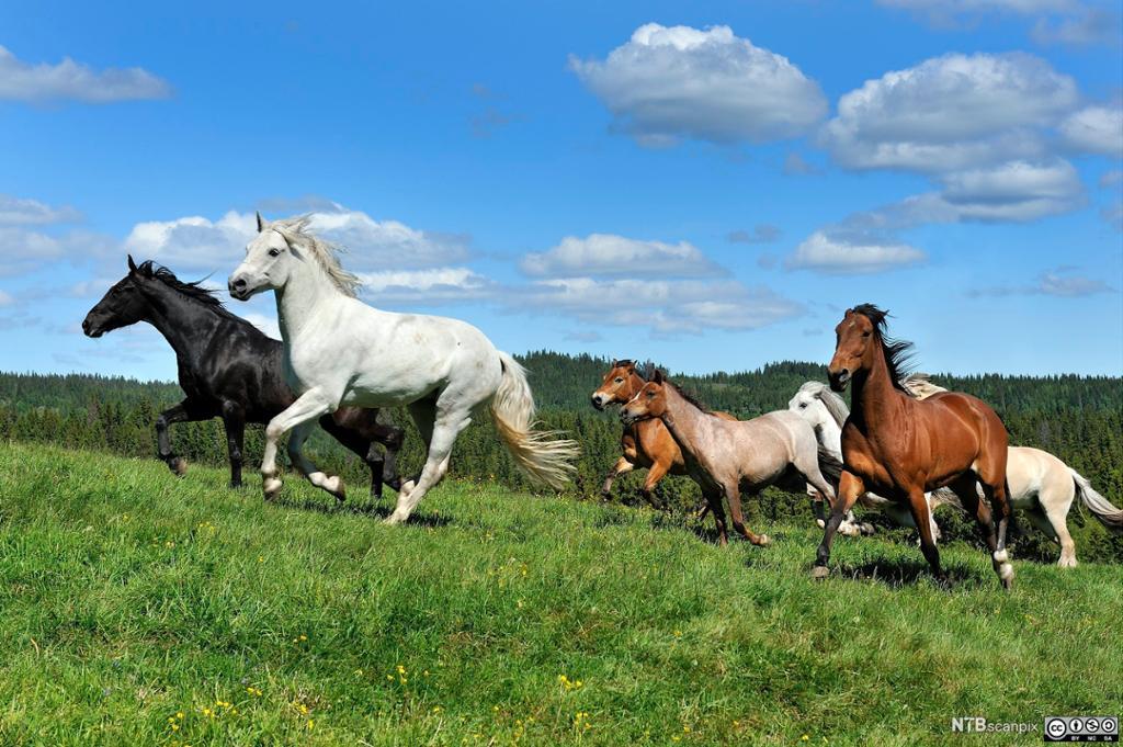 Hester i galopp. Foto.