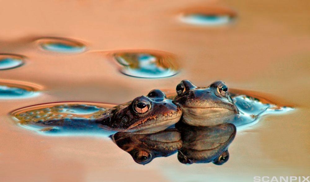 To frosker med hoved over vannflaten. Foto.