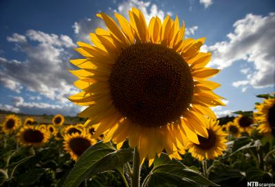 Stor solsikke på en solsikkeåker med blå himmel i bakgrunnen. Foto.