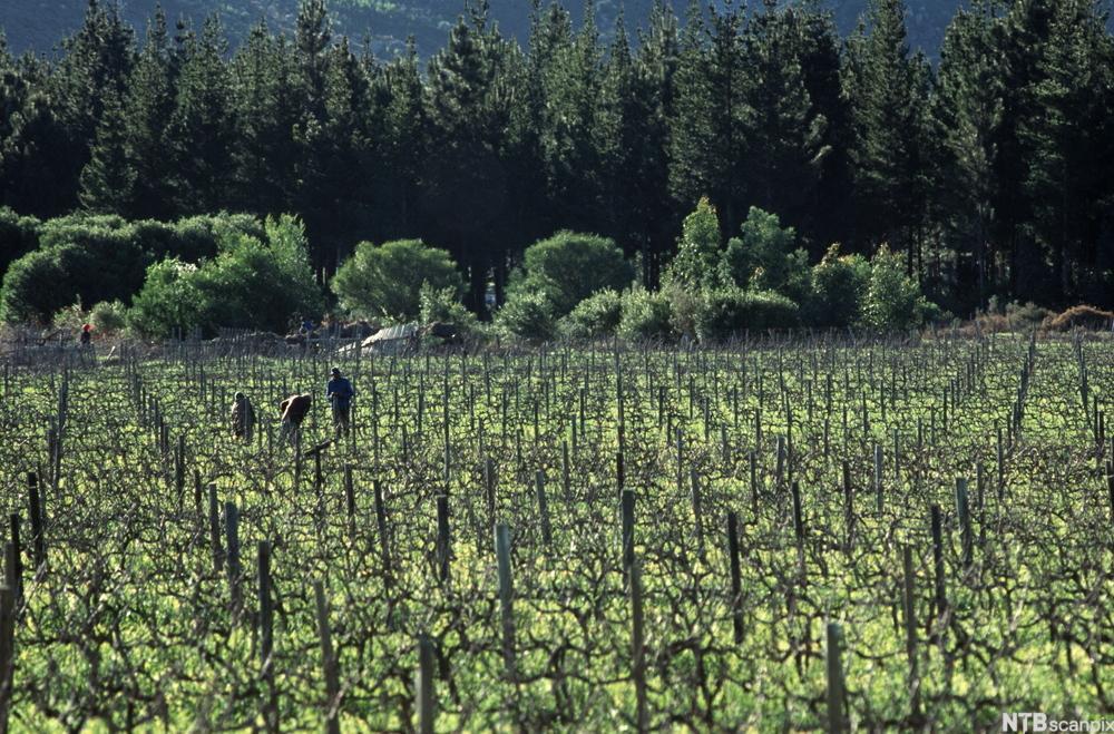 Arbeidere på flat vinmark med skog i bakgrunnen.foto.