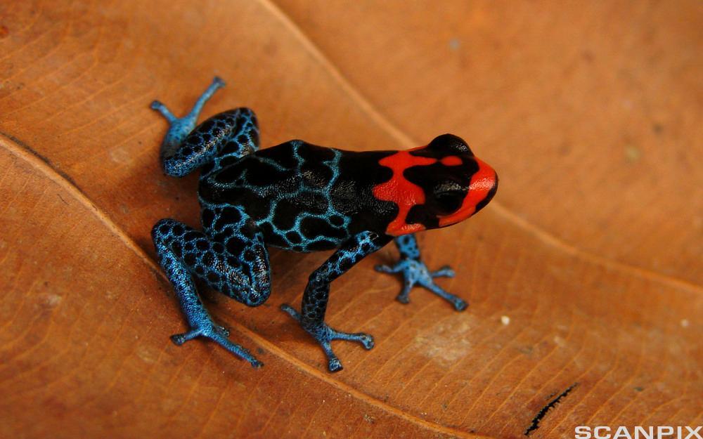 Svart frosk med røde tegninger sitter på ei hånd. Foto