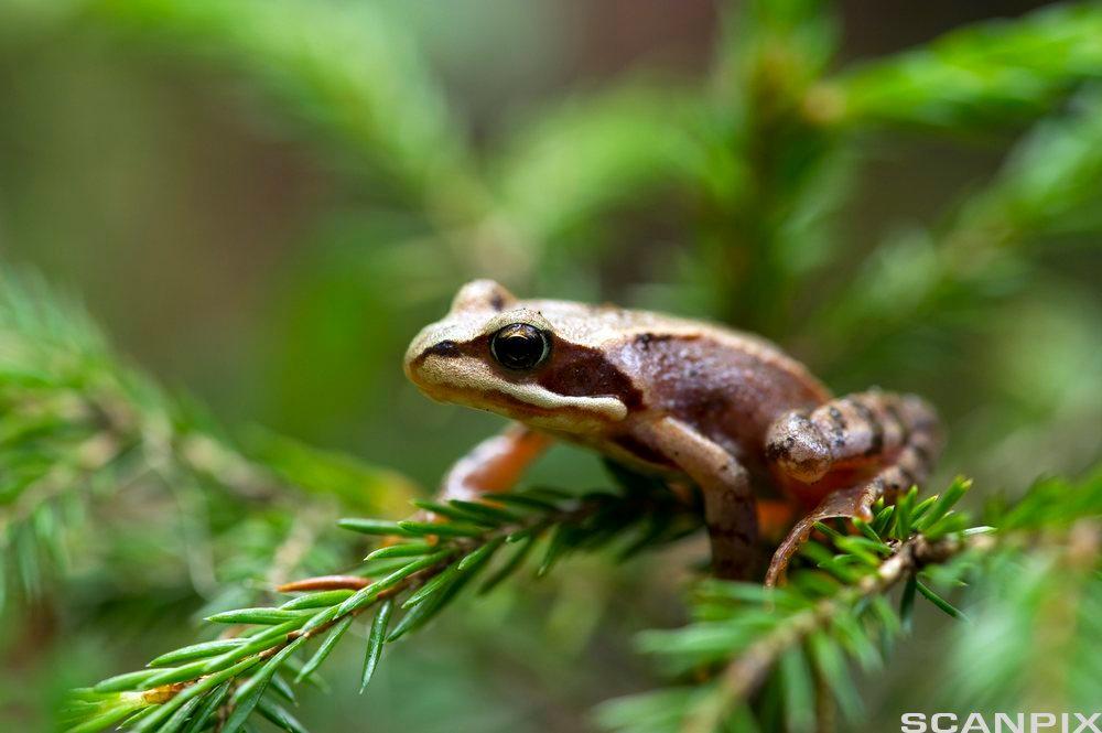 Frosk som sitter på ei grein av et bartre.