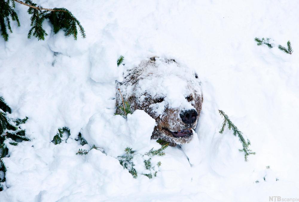 Brunbjørn som våkner etter vintersøvn. Foto