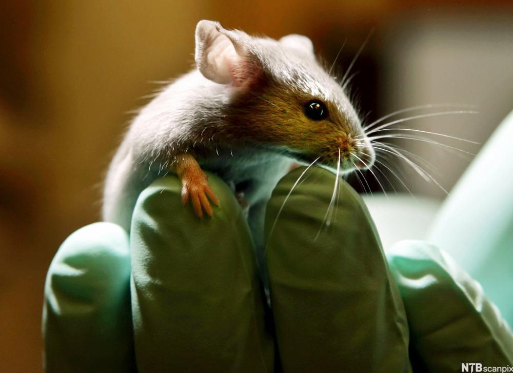 Forsker som holder en mus. Foto.