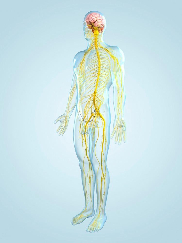 Kropp med synlig nervesystem. Illustrajon.
