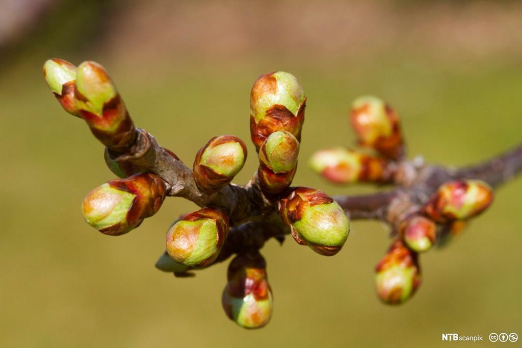 Grein av kirsebærtre med knopper. Foto.