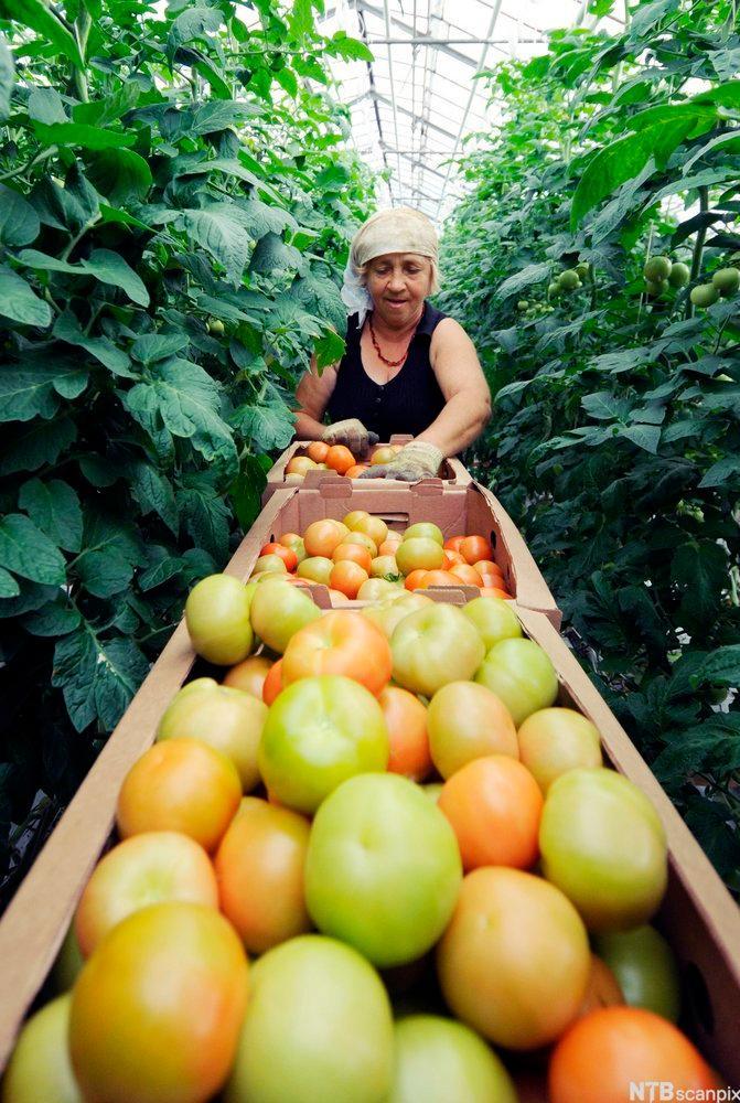 Tomato Harvest. Photo.