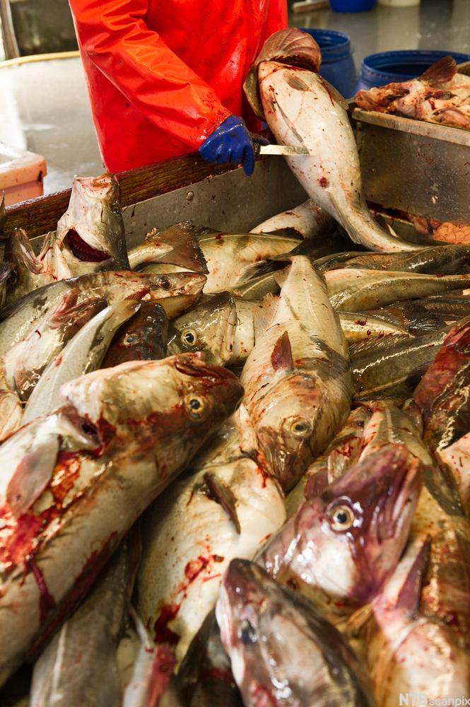 Bilete av sløying av fersk torsk