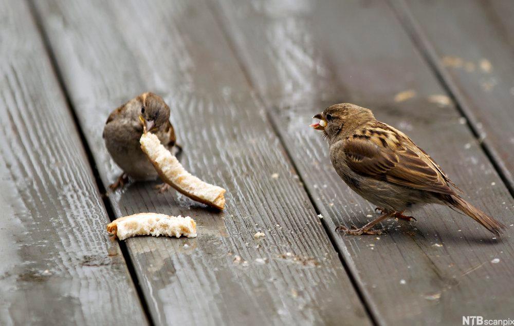 Spurver som spiser