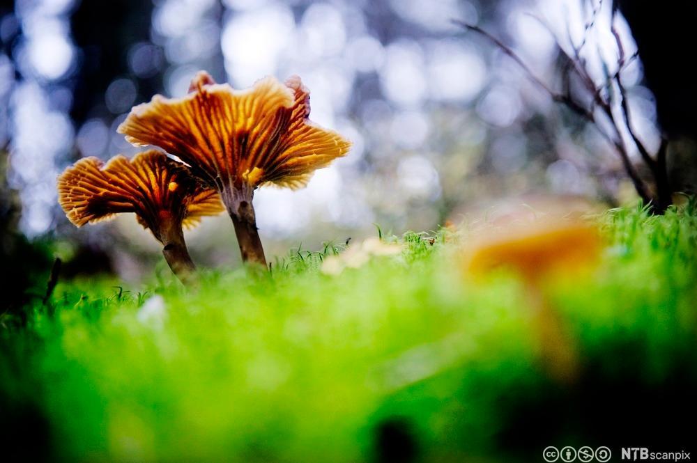 En traktkantarell i skogen. Foto.