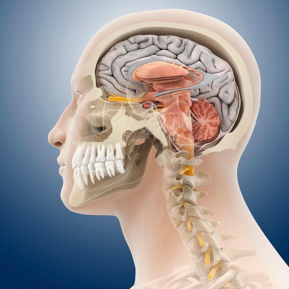Modell: snitt av menneskehode.