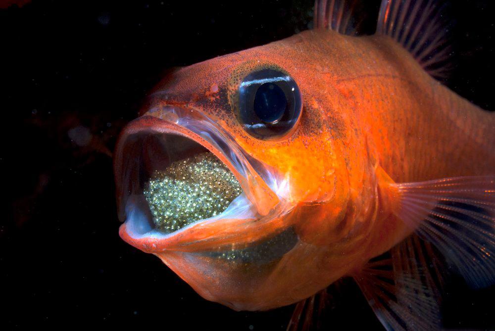 Noen fisker er munnrugere og beskytter eggene mens de klekkes.