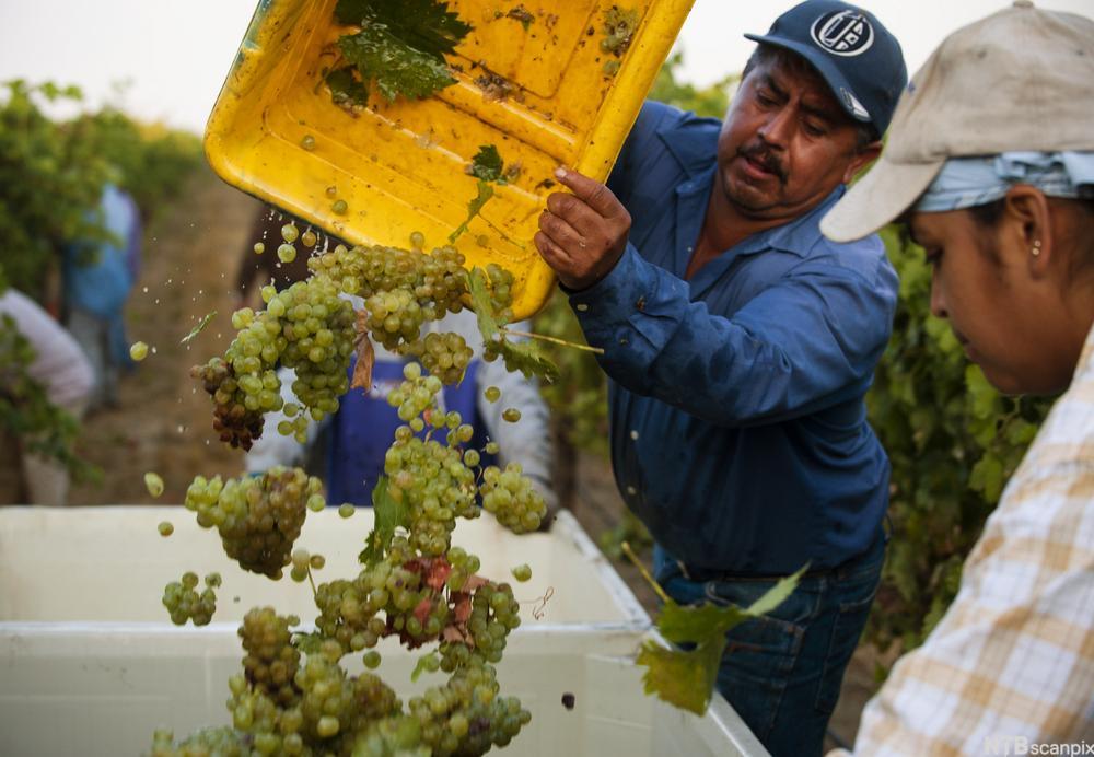 To menn høster druer i California. Foto.