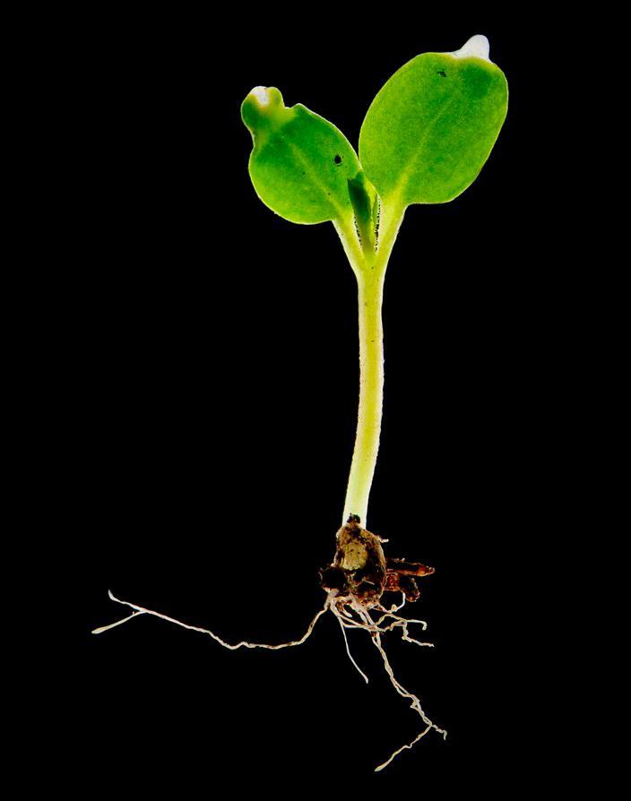 Bilde av tofrøbladet plante