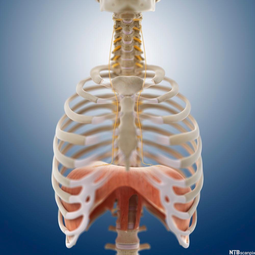 Brystkassen med muskelen mellomgulvet. Illustrasjon.