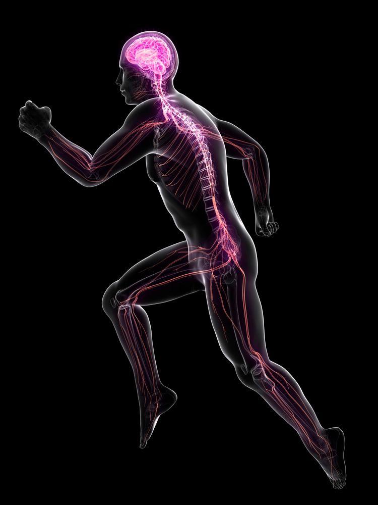 En sprinter tegnet med synlig hjerne og ryggmarg.