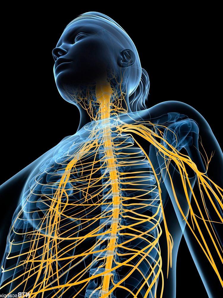 Tegnet kvinne, overkropp med nervesystem. Illustrasjon.