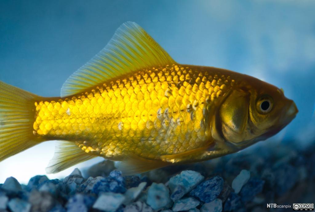 Gullfisk i akvarium. Foto.