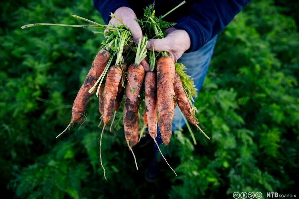 Økologiske gulrøtter. Foto