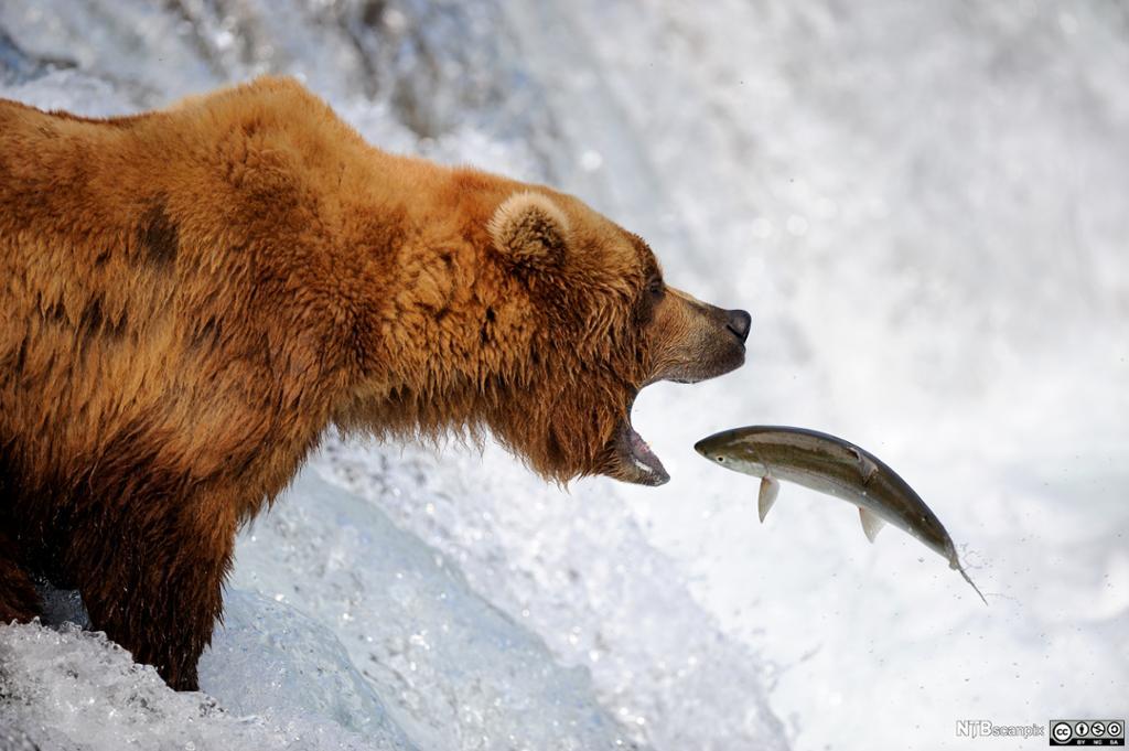 Grizzlybjørn fanger en laks. Foto.