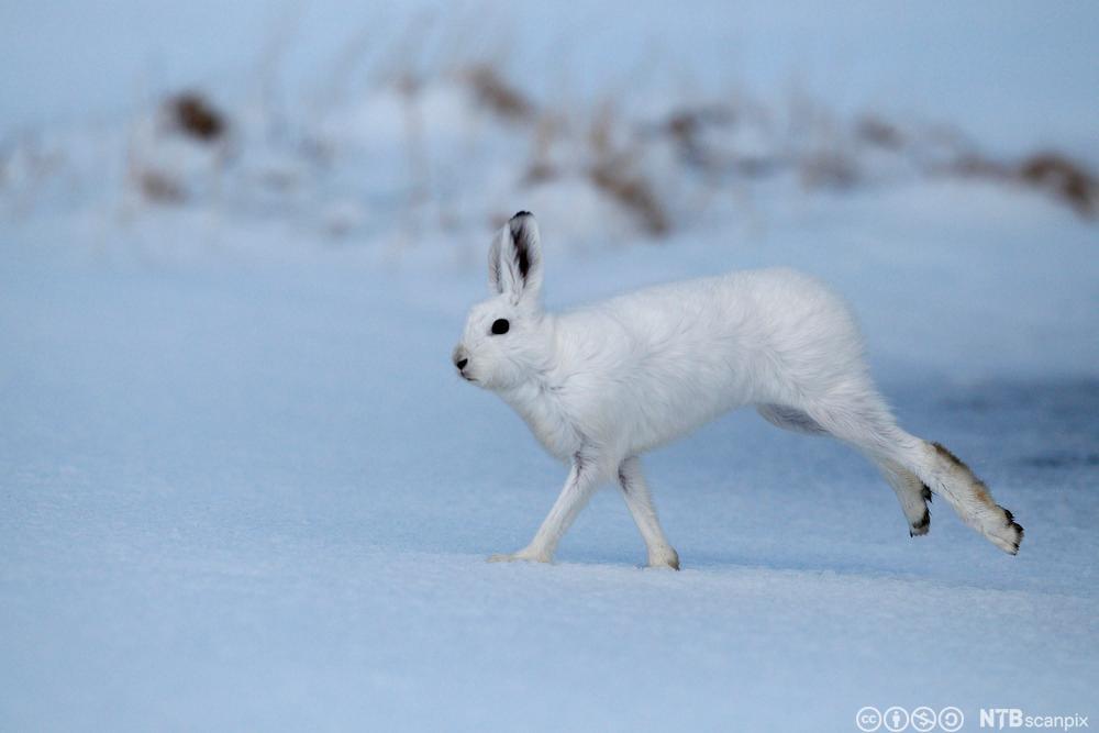 Hare i hvit vinterdrakt. Foto.
