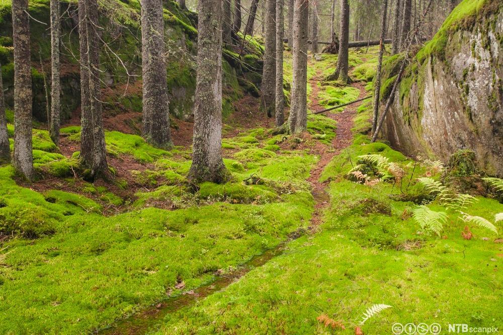 Sti gjennom skog. Foto.