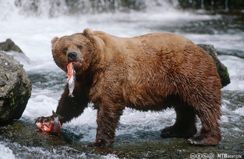 Brunbjørn fisker laks. Foto.