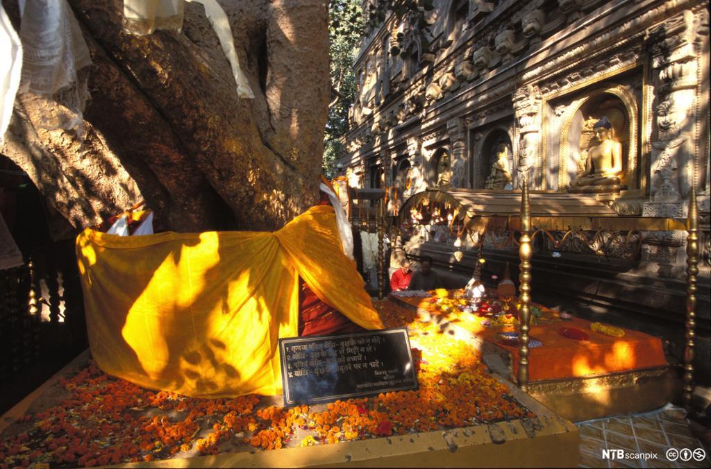 En tykk trestamme innhyllet i oransje stoff. Buddhastatue på veggen ved siden av. Foto.