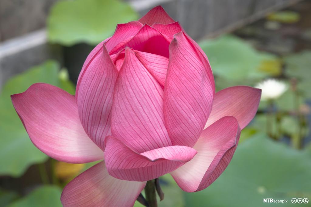 Rosa lotusblomst. Foto.