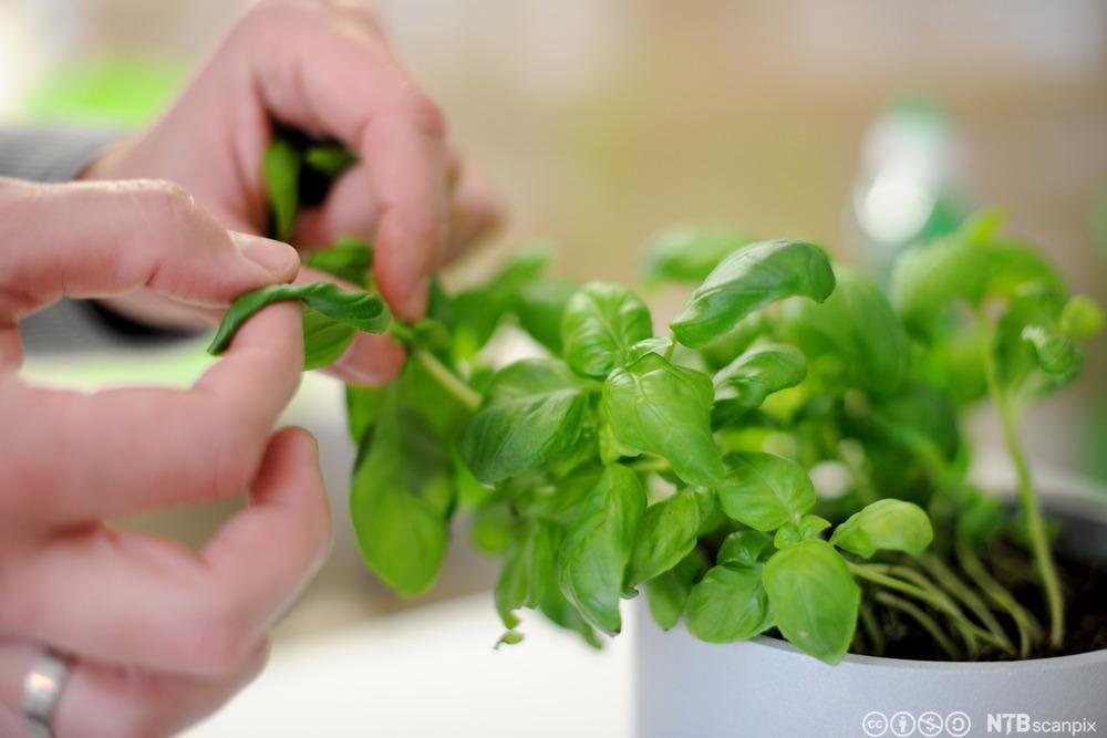 Ei hand som plukker basilikum av en plante. Foto.