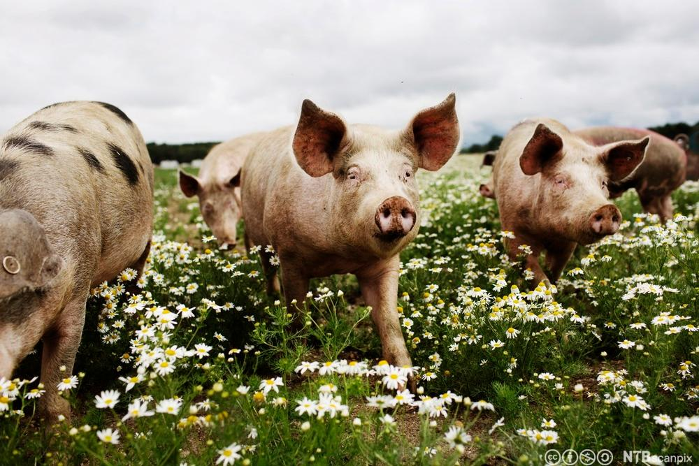Frittgående griser. Foto.