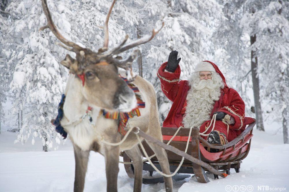 Julenisse med reinsdyr og slede. Foto.