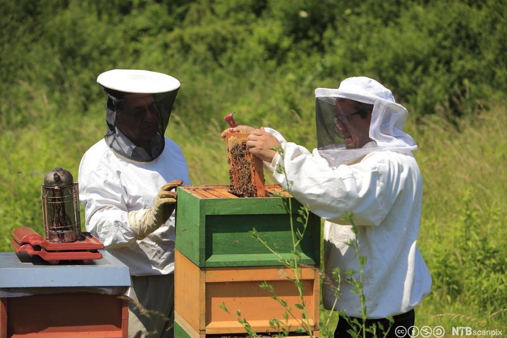 Birøktar i arbeid med å kontrollere brett frå bikuben. Foto.