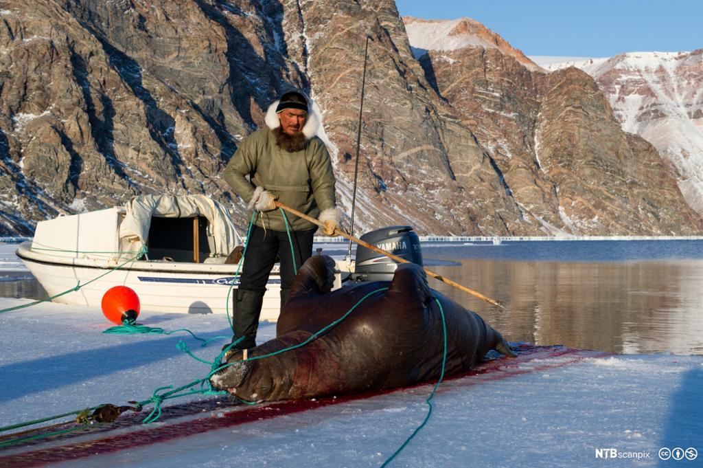 En inuittjeger drar en valross på land.