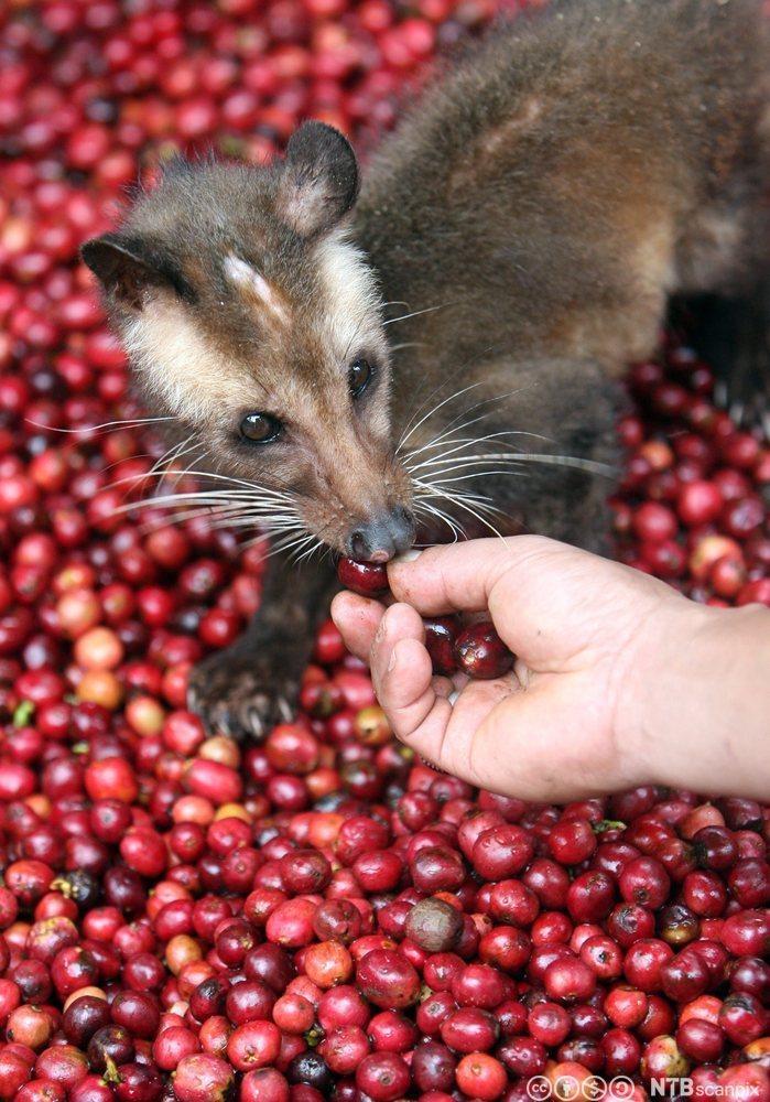 Asiatisk palmesivett, et kattelignende dyr er en del av produksjonsprosessen til Kopi Luwak. Foto.