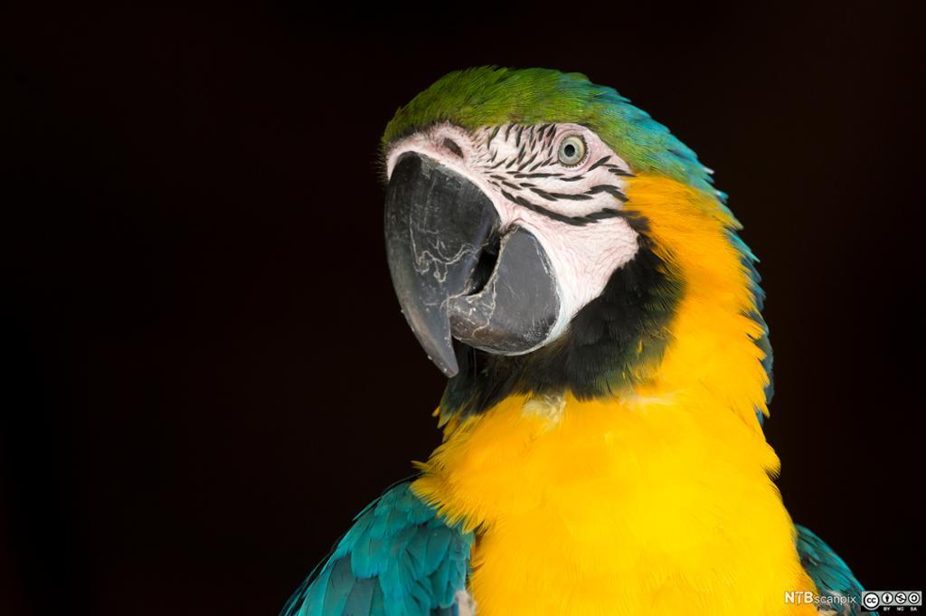 Gul og blå papegøye mot svart bakgrunn. Foto.