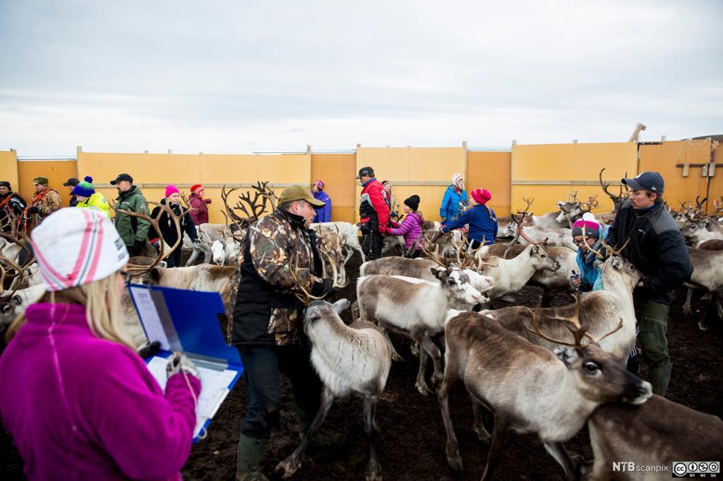 Sortering av reinsdyr der slaktedyrene velges ut. Foto.