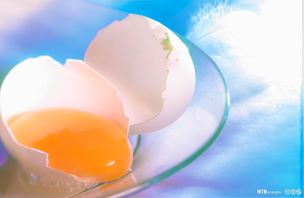 Knust egg med eggeplomme og eggehvite. Foto.
