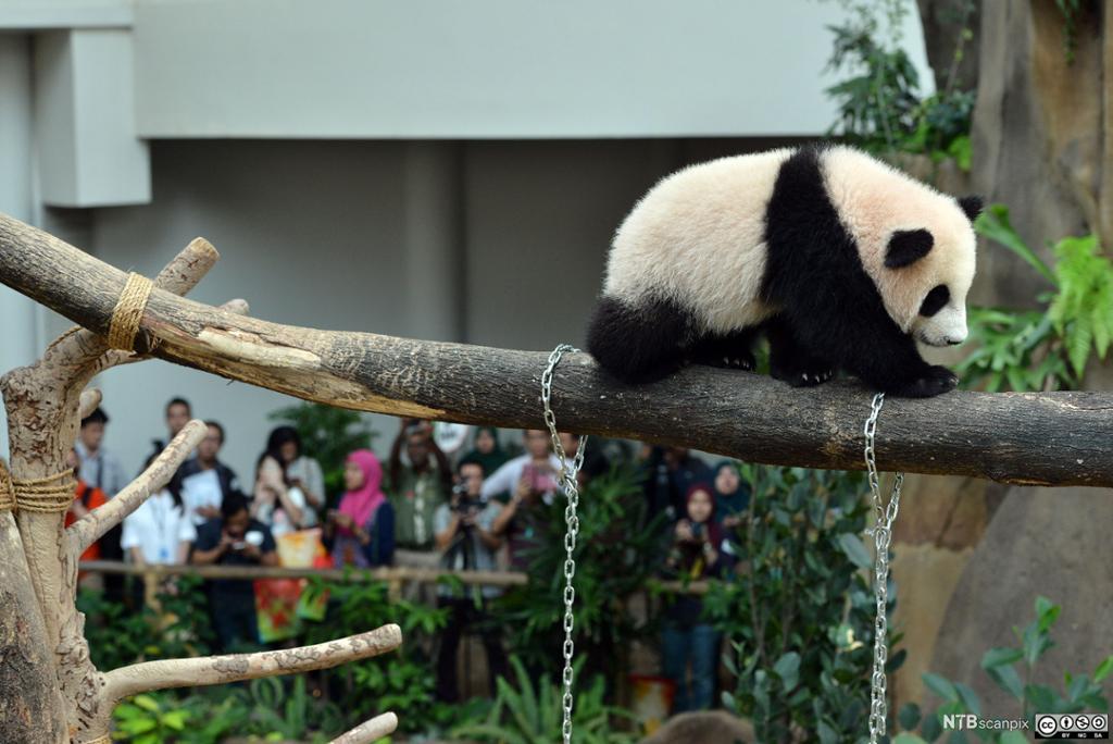 En babypanda balanserer på en grein i en dyrehage. Foto.
