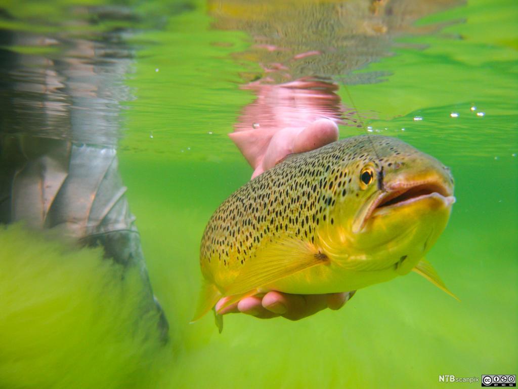 Fluefisker som er i ferd med å slippe en ørret. Foto.