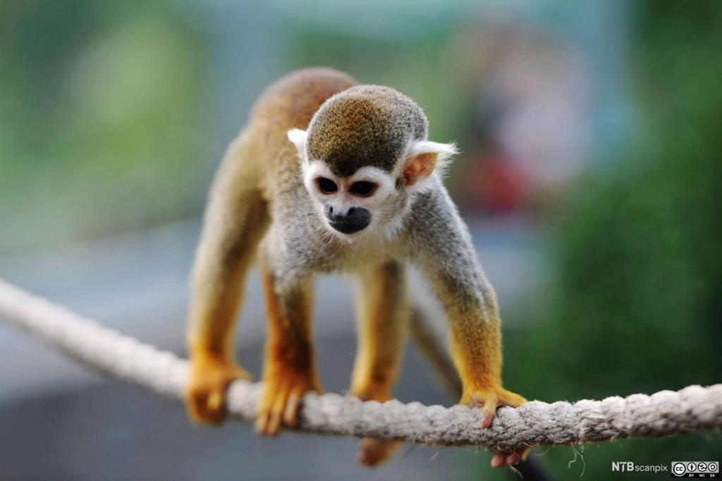 En liten apekatt balanserer på et tau. Foto.