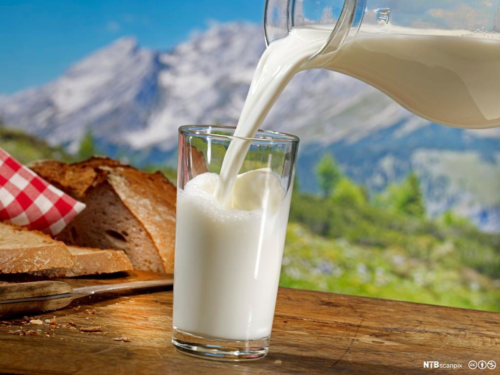 Helling av melk. Foto.