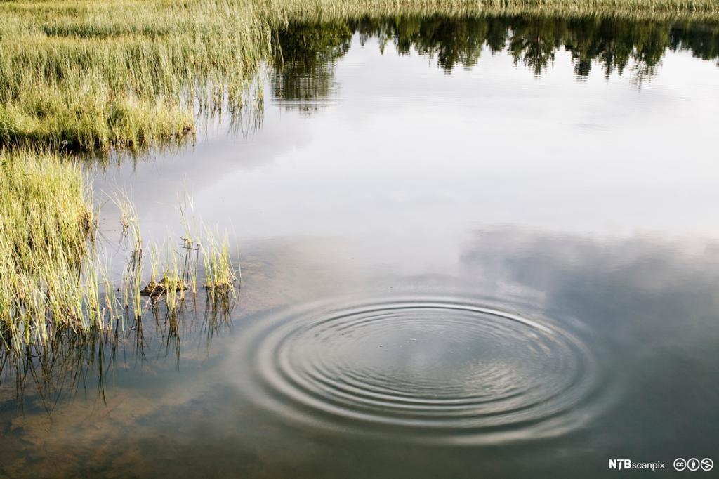 Ringar i vatn i eit tjern. Foto.