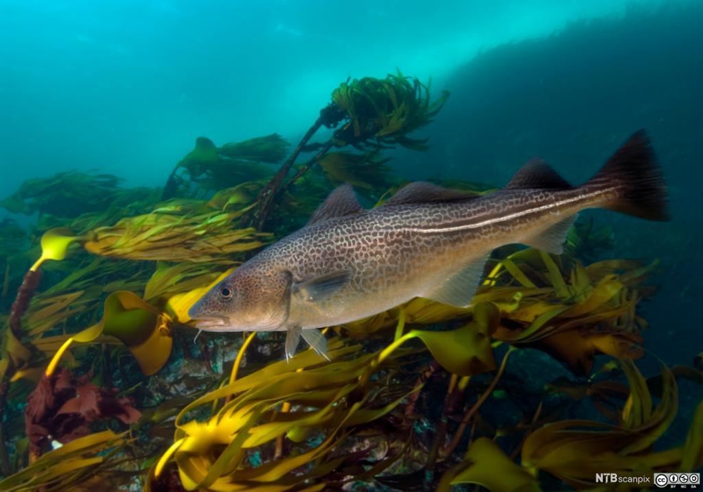 Fisk i tareskog. Foto.