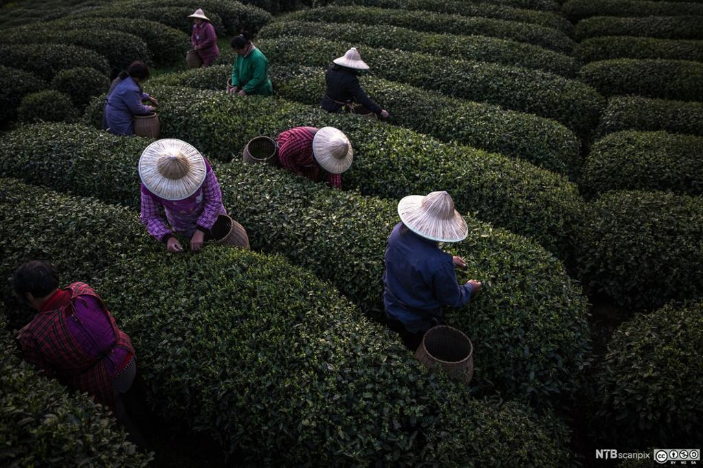 Sesongarbeidere plukker te på en teplantasje i Kina. Foto.